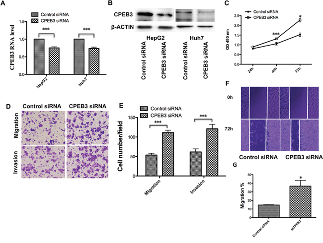 CPEB3 inhibition accelerates the proliferation and metastasis of human HCC cells.
