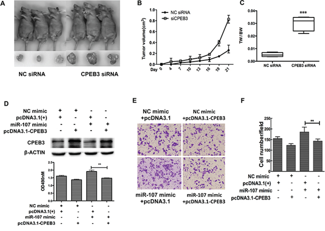 CPEB3 is involved in miR-107-induced growth and migration in HCC cells.