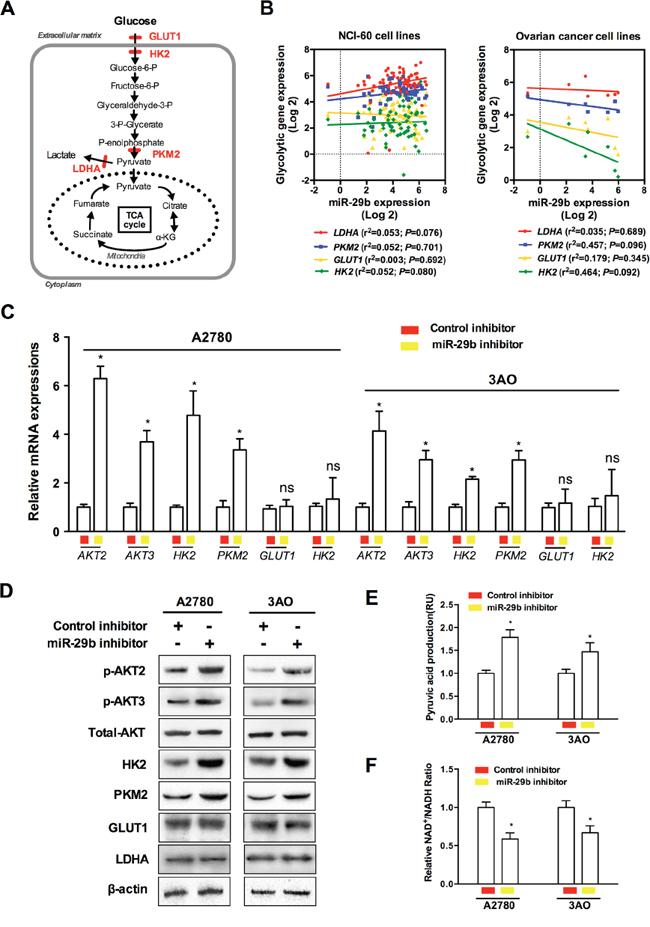 Oncotarget | MicroRNA-29B (mir-29b) regulates the Warburg