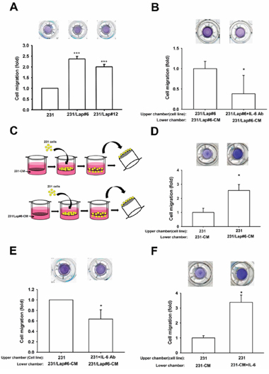 IL-6 is involved in the lapatinib-enhanced aggressiveness of 231 cell.