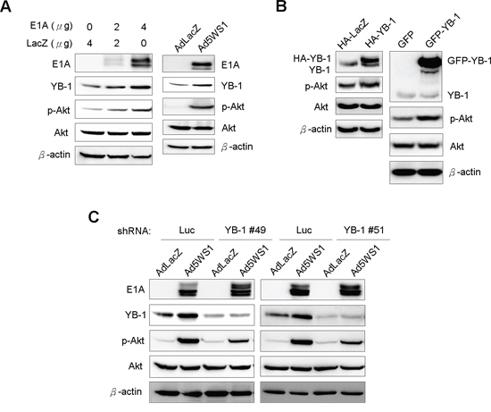 E1A induces YB-1 expression and, in turn, enhances Akt phosphorylation in MCF-7 cells.
