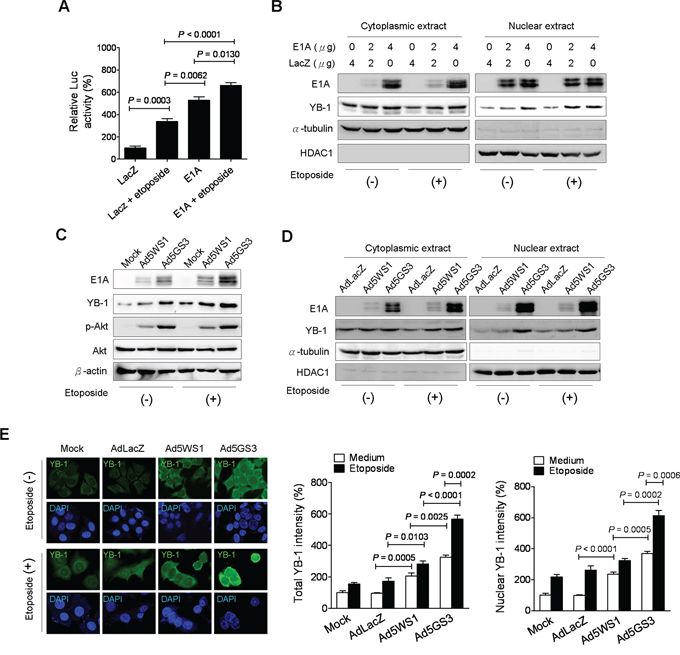 Ad5GS3 and etoposide synergistically enhance nuclear translocation of YB-1 in MCF-7 cells.