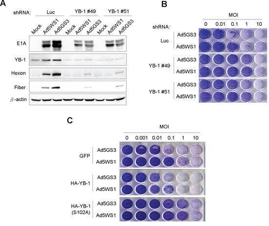 Knockdown of YB-1 decreases, whereas overexpression of YB-1 increases the cytolytic activity of Ad5GS3 and Ad5WS1 against MCF-7 cells.