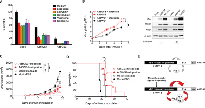 Ad5GS3 synergizes with etoposide to enhance antitumor activity in vitro and in vivo.