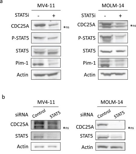 STAT5 regulates CDC25A downstream of FLT3-ITD.