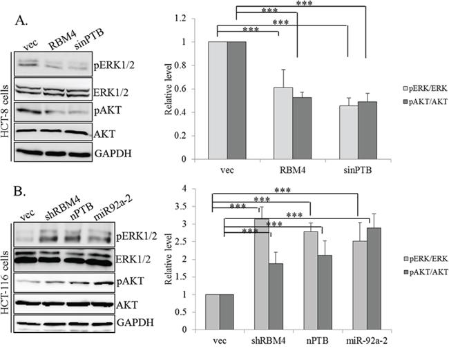 RNA-binding motif 4 [RBM4]-regulated splicing cascade modulates the activity of AKT/ERK signaling.