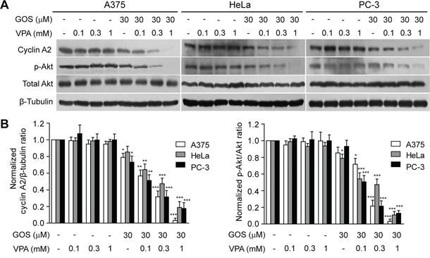 Combination of GOS and VPA induced cyclin A2 downregulation and Akt dephosphorylation.