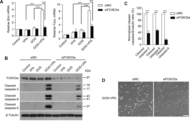 FOXO3a knockdown attenuated GOS+VPA-induced Bim and FasL expression and caspase activation.
