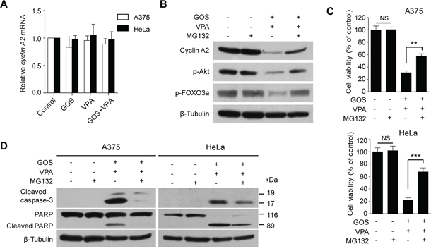 GOS and VPA co-treatment induced proteasome-dependent degradation of cyclin A2.