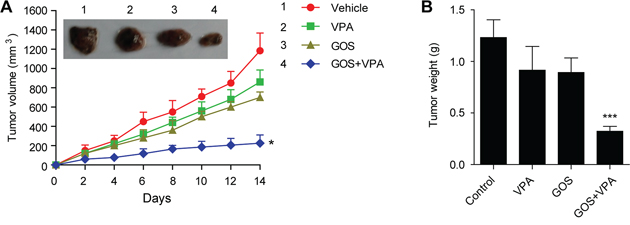 Combination of GOS and VPA significantly suppressed xenografted tumor growth in vivo.