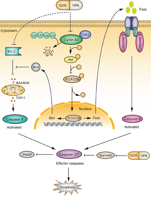 A schematic depicts the action mechanism by which GOS and VPA synergistically activate both extrinsic and intrinsic apoptotic pathways.