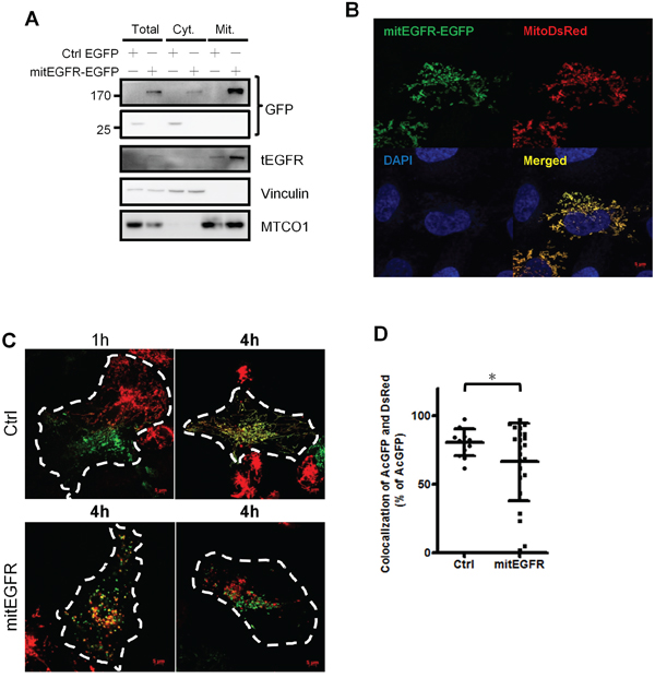 Mitochondrial EGFR inhibits mitochondria fusion by PEG cell fusion assay in NSCLC cells.
