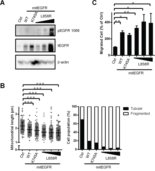 Mitochondrial EGFR induces mitochondria fission independent of its phosphorylation status.