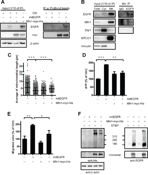 EGFR regulates mitochondrial dynamics through interacting with Mfn1 functions.