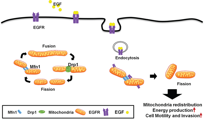 A schematic model of mitochondrial dynamic regulated by EGFR.