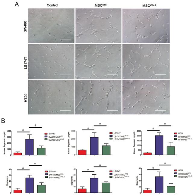 MSCs promote endothelial tube formation through IL-8 secretion.