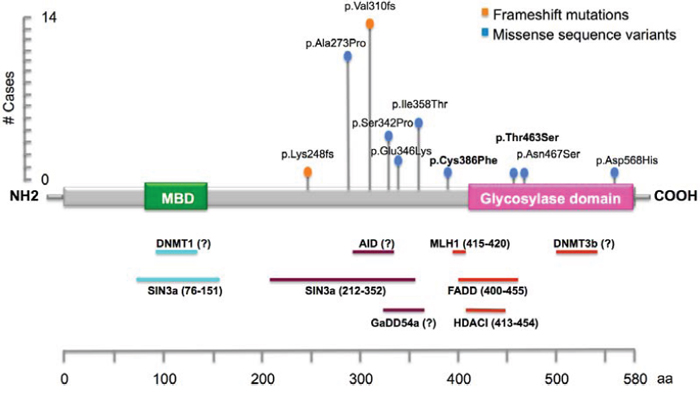 Schematic illustration of MBD4 gene, showing the main known functional and putative domains, and location of the identified DNA variants in this study.