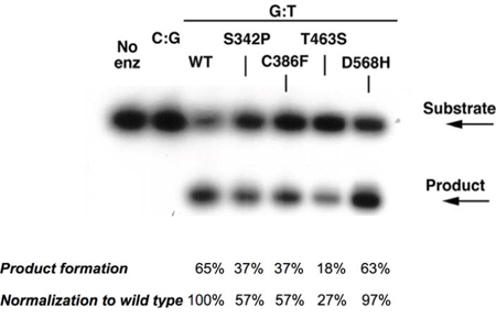 Single-turnover thymine glycosylase assays for MBD4 DNA coding variants.