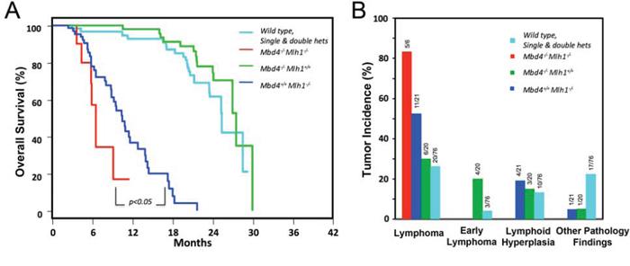 Mbd4 deficiency alters tumorigenesis in Mlh1−/− mouse model.