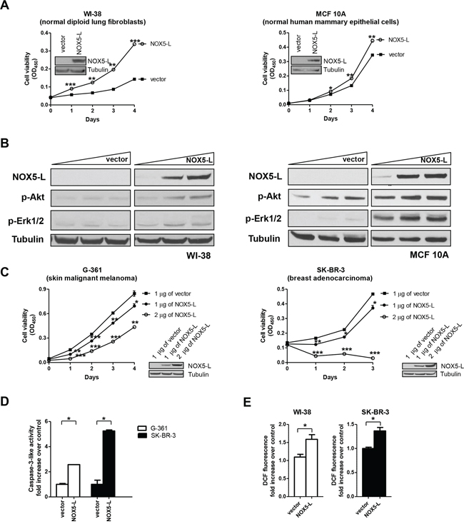 An increase in NOX5-L above a certain threshold promotes cancer cell death.