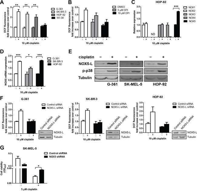Cisplatin triggers cell death by promoting the production of high ROS levels through NOX5-L upregulation.
