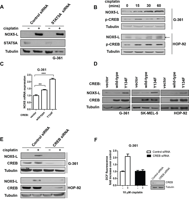 Cisplatin acts through CREB-mediated upregulation of NOX5-L to promote ROS generation in skin and lung cancer cells.