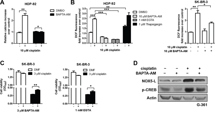 Cisplatin triggers cell death by increasing NOX5-L activity through Ca2+ release.