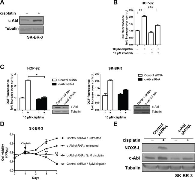 Cisplatin triggers cell death by increasing NOX5-L activity through c-Abl augmentation.