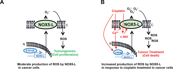 Schematic showing that NOX5-L is a critical regulator of the balance between proliferation and death in cancer cells.
