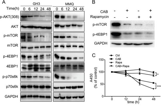 CAB suppresses the AKT/mTOR pathway.