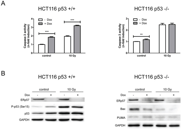 Loss of ERp57 induces p53-dependent apoptosis.