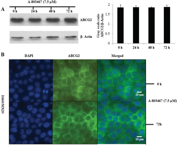 Effect of A-803467 on ABCG2 expression and the subcellular localization of ABCG2.