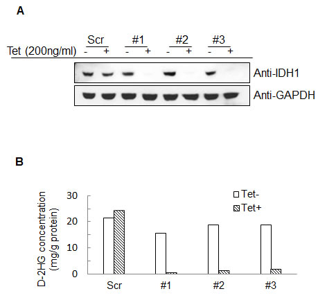 Establishment of IDH1 inducible knockdown HT1080 cell lines.