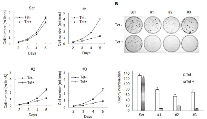 Knocking down IDH1 expression inhibits HT1080 cell growth.