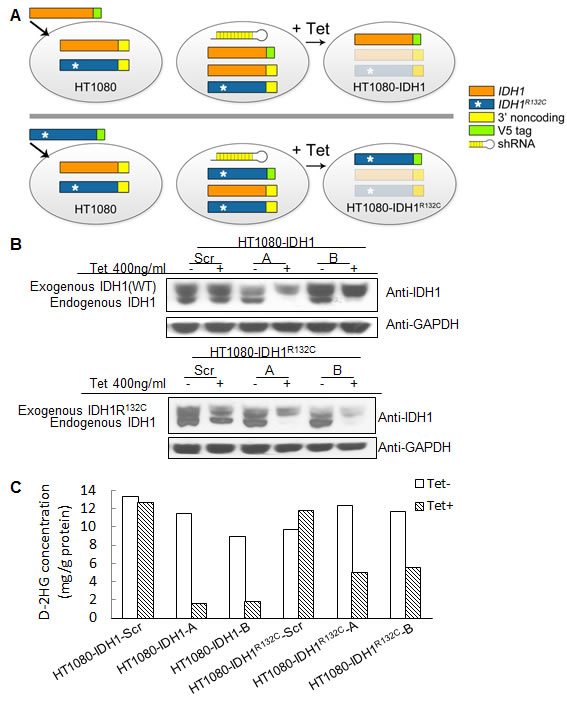 Generation of cell lines with inducible knockdown of mutant or wild type IDH1.