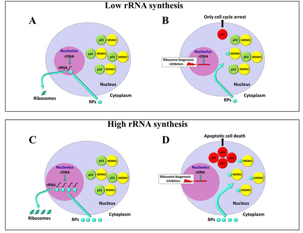 Schematic representation of the effects of ribosome biogenesis inhibitors on cells with different rates of rRNA synthesis.