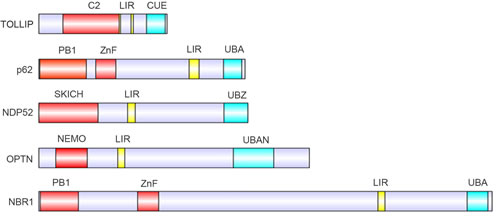 Protein domains of the known autophagy receptors.