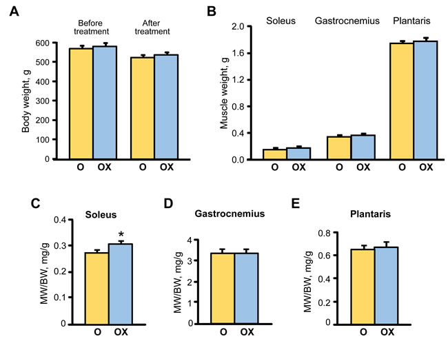 The effect of XJB on gravimetric parameters in aged XJB-treated (OX) and untreated (O) rats.