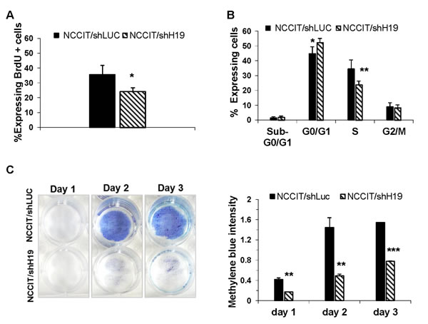 H19 inhibition attenuates hEC cell proliferation.