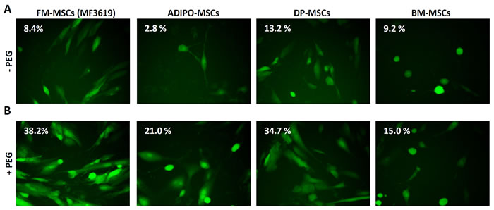 Enhanced infection of FM-MSCs with R-LM249 by means of PEG6000.