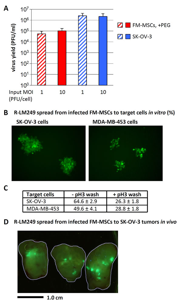R-LM249 replicates in FM-MSCs, and progeny virus spreads to SK-OV-3 or MDA-MB-453 cancer cells