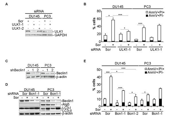 Sorafenib induces autophagy-dependent cell death in DU145 cells.