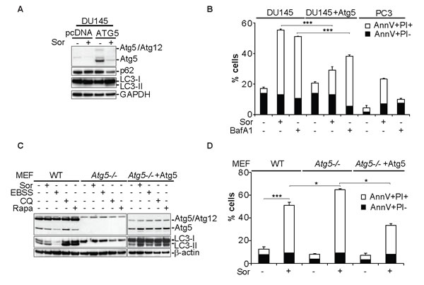 Expression of Atg5 rescues DU145 cells from Sor-induced cell death.