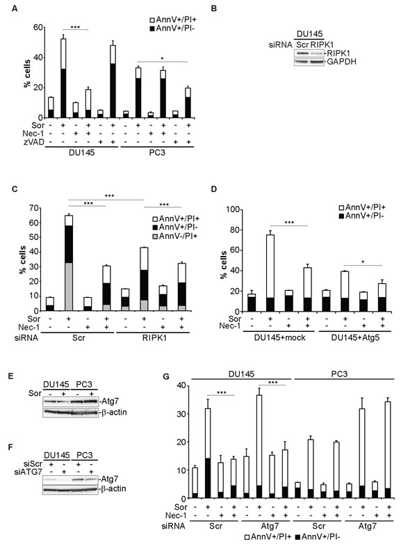Sorafenib-induced cell death in DU145 cells is executed by necroptosis.