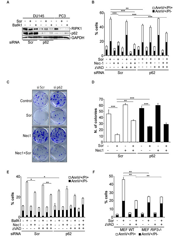 Sorafenib-induced necroptosis in DU145 cells is p62 and RIPK1-dependent.