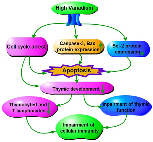 The toxic effect mechanism of vanadium on thymic development Vanadium promotes cell-cycle arrest and caspase-3 and Bax protein expression, and inhibits Bcl-2 protein expression.