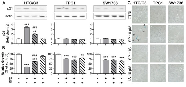 activated p53 induces senescence through its effector p21.
