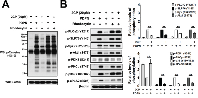 2CP selectively inhibits PDPN- but not rhodocytin-induced platelet signaling.
