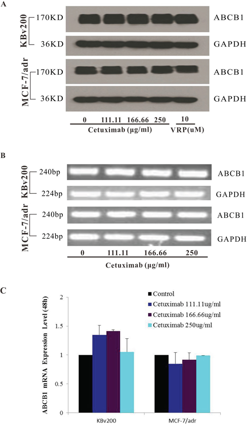 Effect of cetuximab on the expression of ABCB1 in MDR cells.