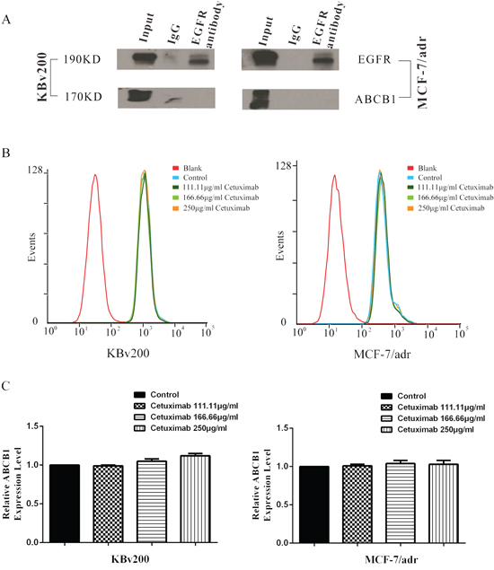 Effect of cetuximab on interaction between ABCB1 and EGFR.